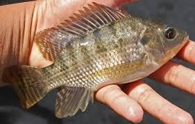 memancing ikan nila di sentulfresh