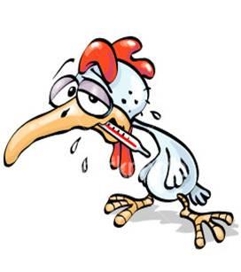 ayam sakit akibat musim hujan