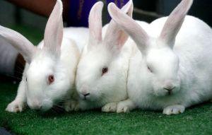 urine kelinci
