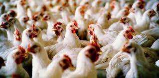 bertahan di bisnis ayam broiler