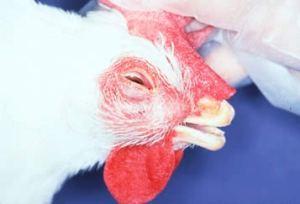 korisa pada ayam