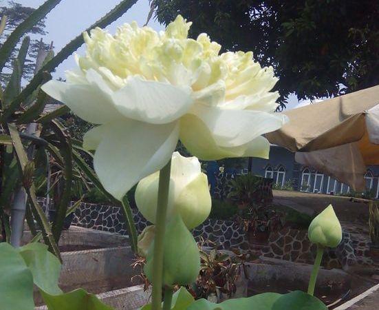 lotus room di sentulfresh