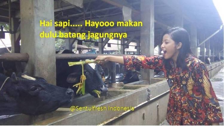 Pembuatan es yoghurt sentulfresh : Memberi makan sapi