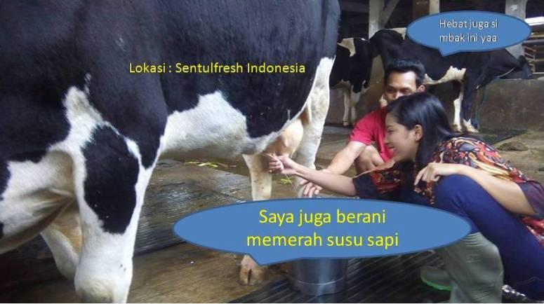 Pembuatan es yoghurt sentulfresh: memerah susu sapi