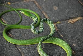 ular pucuk daun